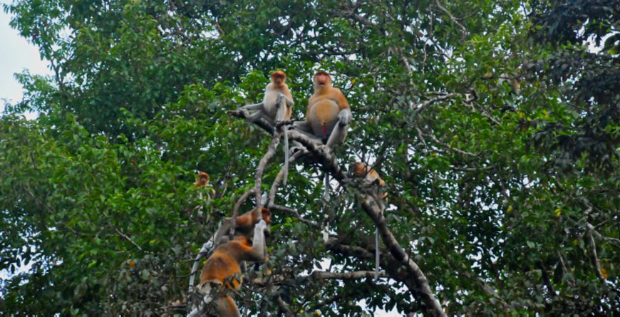 Proboscus Monkeys