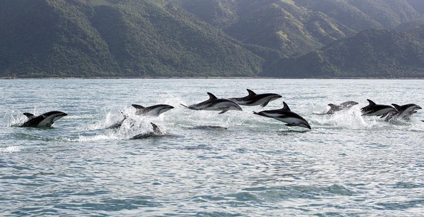 Dusky Dophins