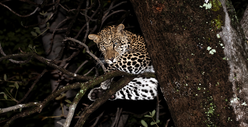 Leopard at Night