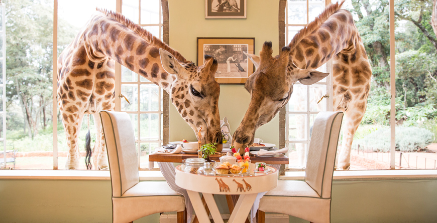 Giraffes at Breakfast