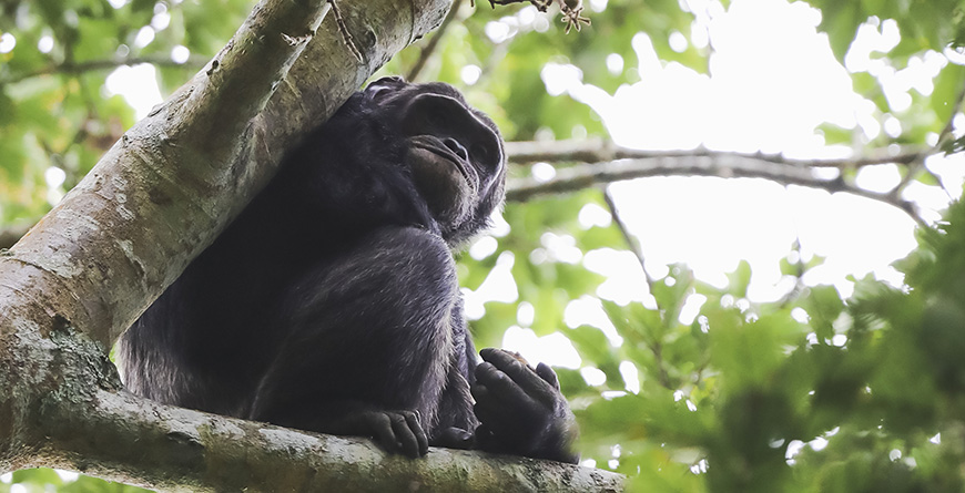 Chimp, Credit Visit Rwanda