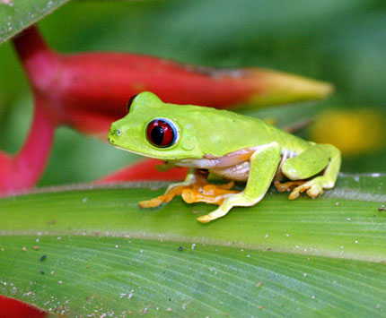 Green Frog, Courtesy Shutterstock