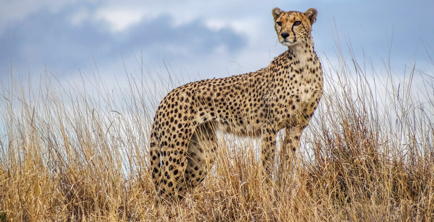 Cheetah Courtesy Lewa House