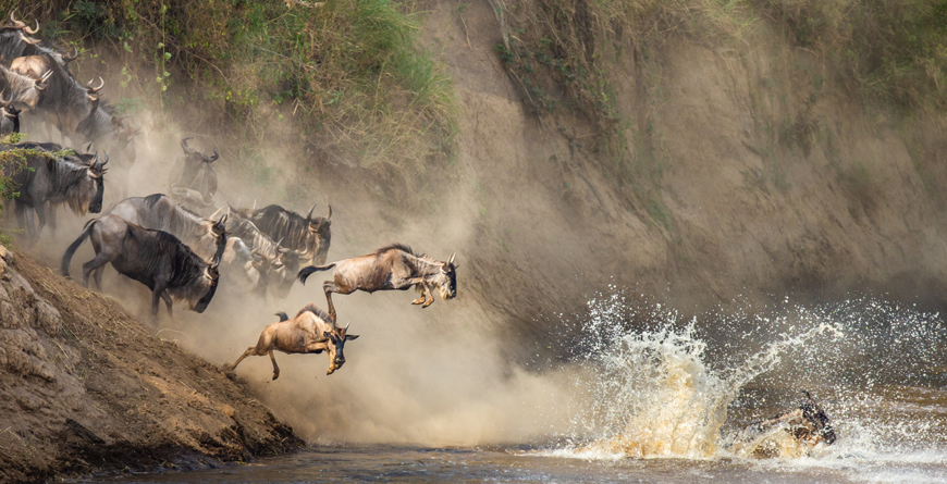 Wildebeest Mara River Courtesy Shutterstock