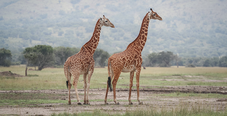 Akagera Giraffe Credit Visit Rwanda