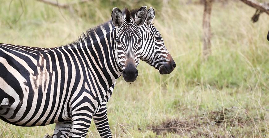 Akagera Zebra Credit Visit Rwanda