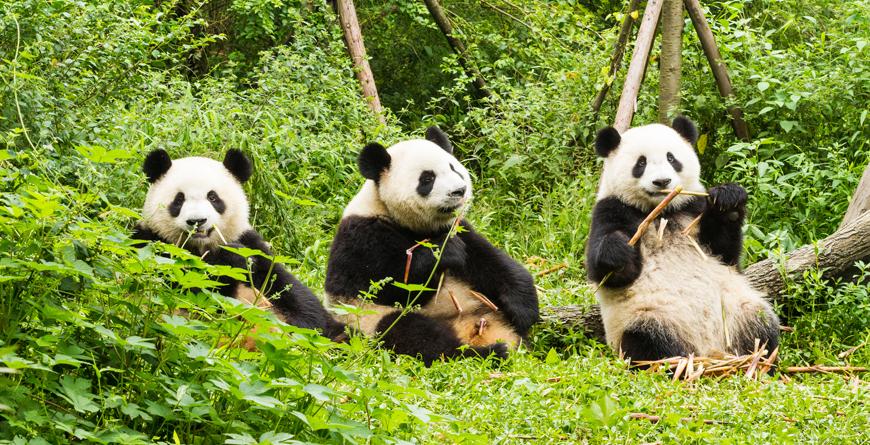 Pandas, courtesy Shutterstock