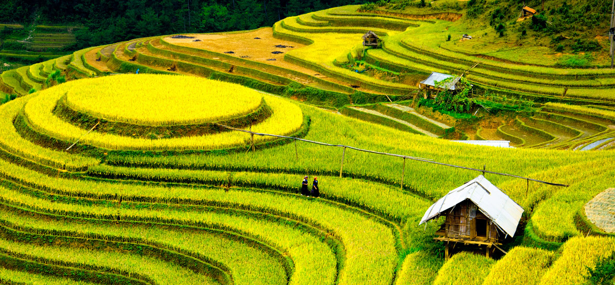 Rice Fields Courtesy Shutterstock
