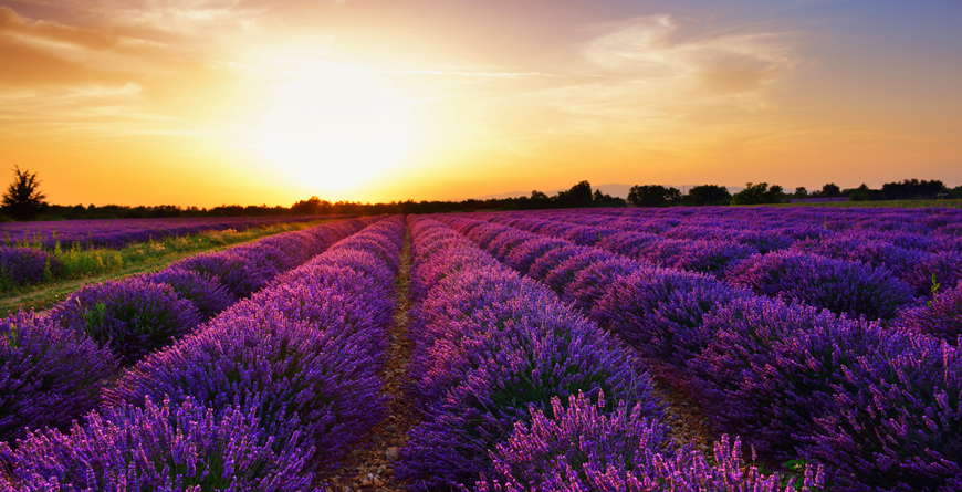 Lavender Field, Provence, Credit Shutterstock