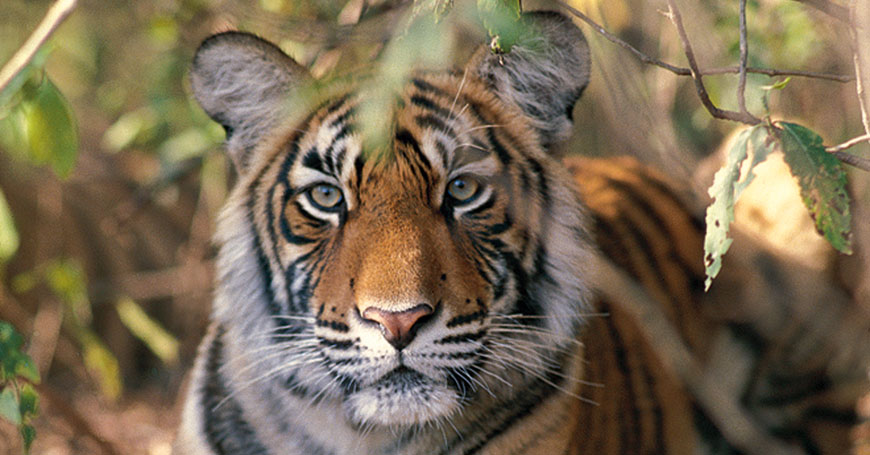 Tiger, Courtesy Creative Travel