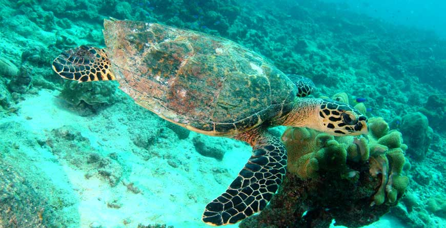 Turtle (courtesy of Tony Baskeyfield, Seychelles Tourist Board)