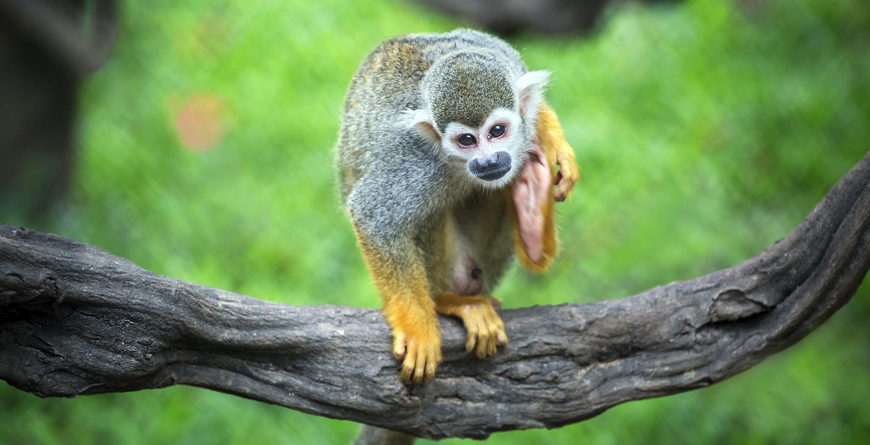 Manuel Antonio Squirrel Monkey, Credit Shutterstock