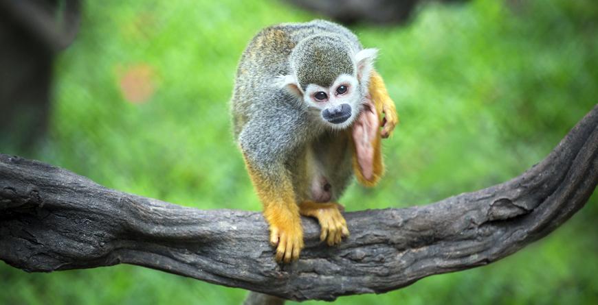 Manuel Antonio Squirrel Monkey, Credit Shutterstock
