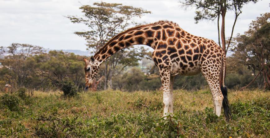 Giraffe Centre, Credit Shutterstock