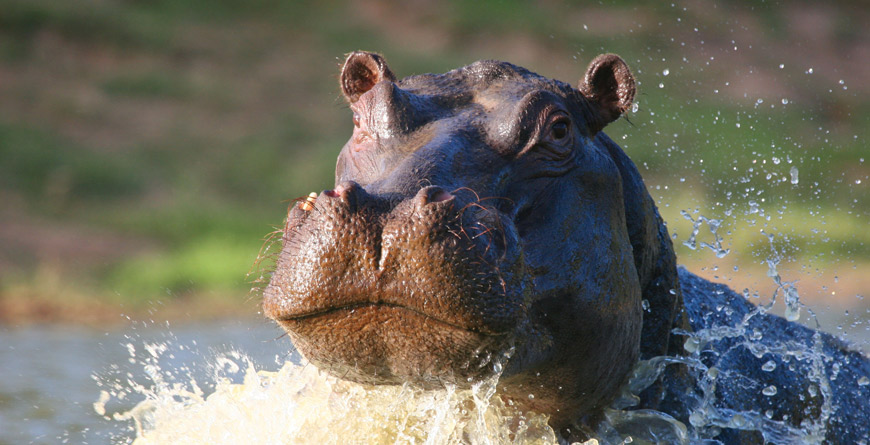 Hippo at Shamwari Game Reserve