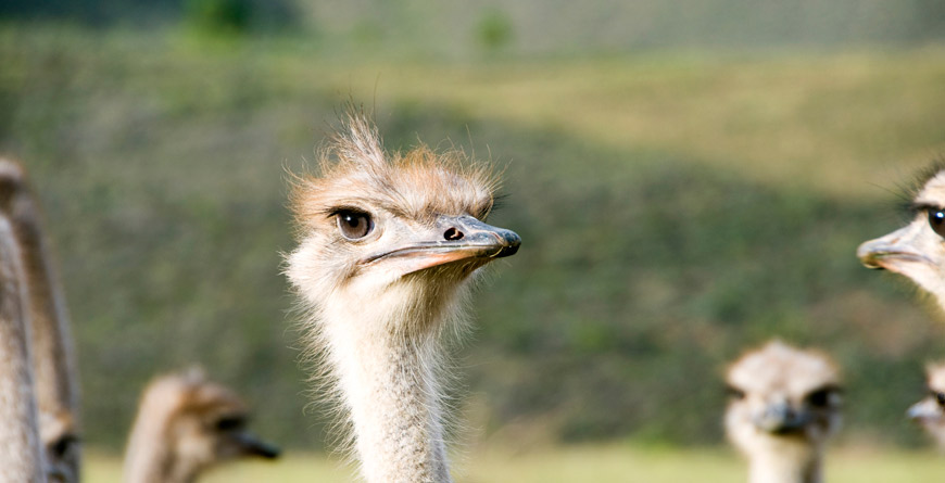 Oudtshoorn Ostrich, courtesy of South Africa Tourism