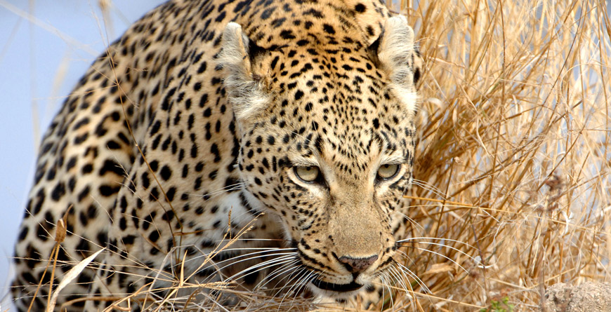 Leopard, courtesy of &Beyond