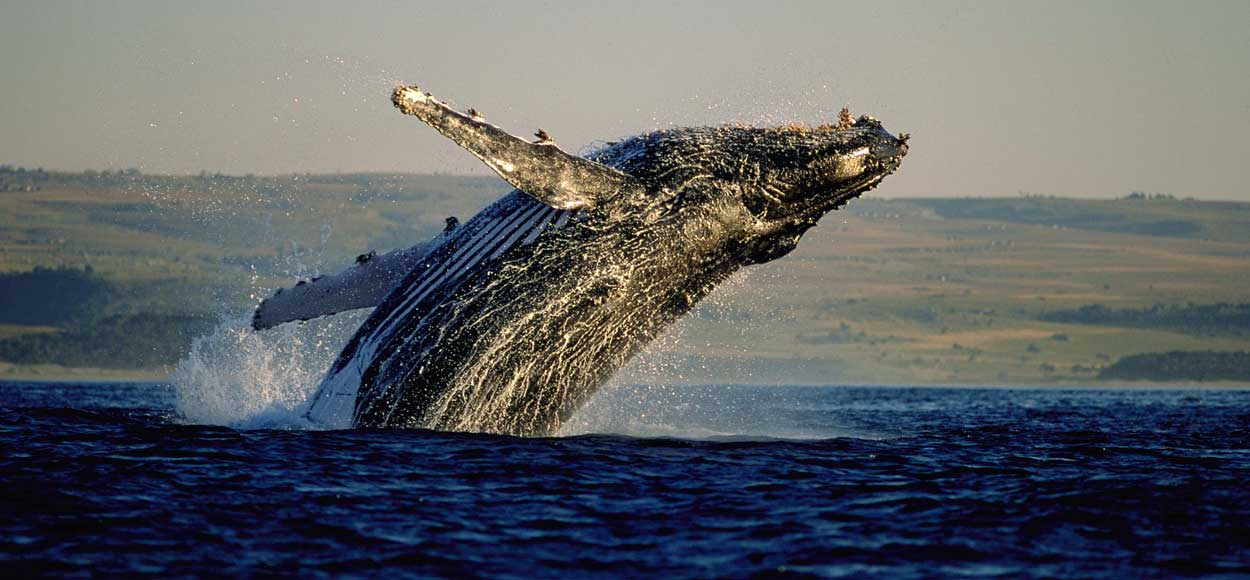 Whale, courtesy of Grootbos