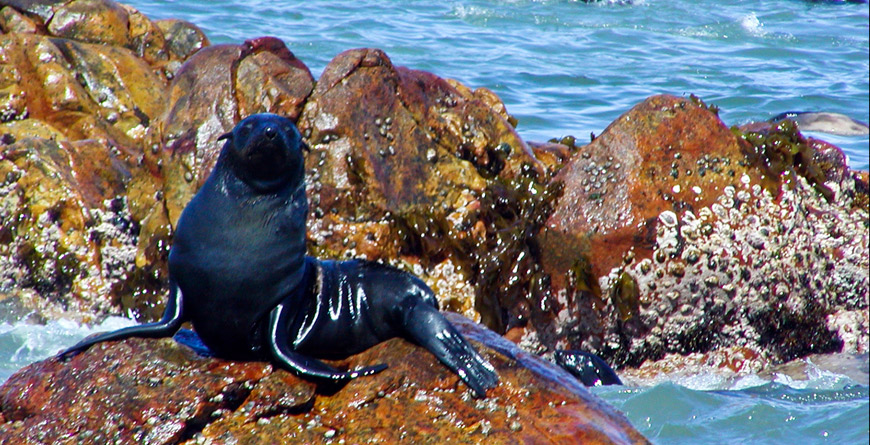 Seal, courtesy of Grootbos