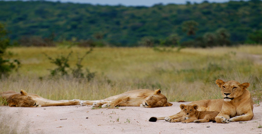 Lions, Courtesy of Azura Selous