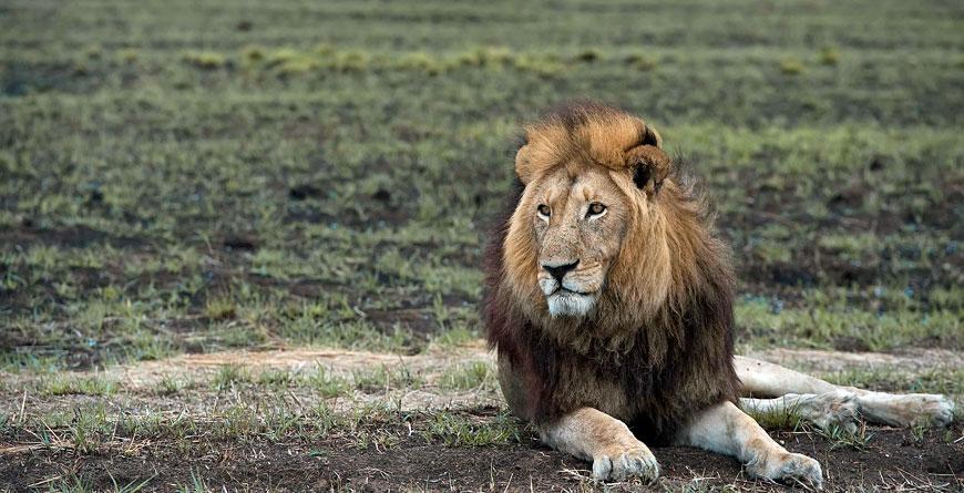 Lion Courtesy Jeffery & McKeith Safaris