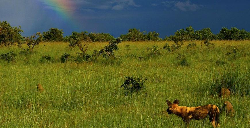 Wild Dogs Courtesy Jeffery & McKeith Safaris
