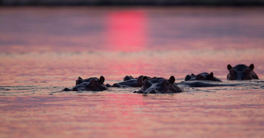 Hippos Courtesy Chongwe