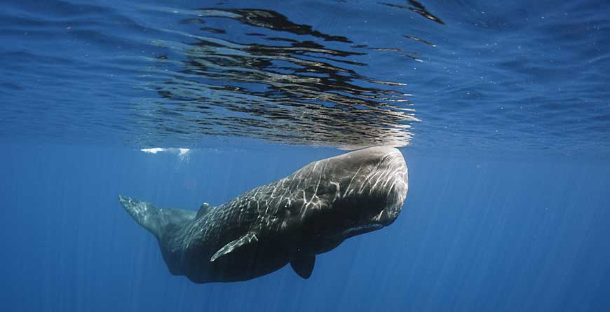 Sperm Whale Credit Shutterstock