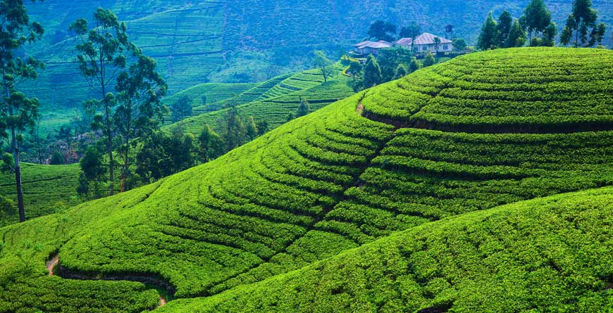 Tea Plantations credit Shutterstock