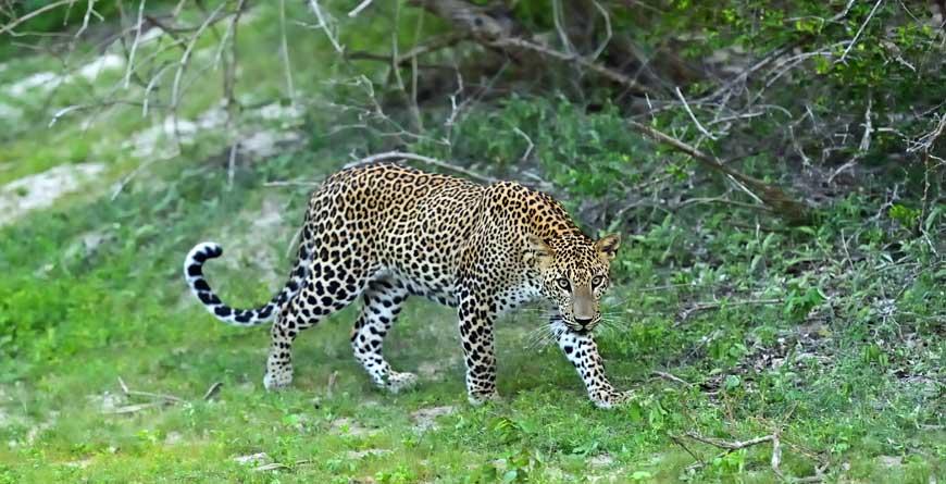 Leopard Credit Shutterstock