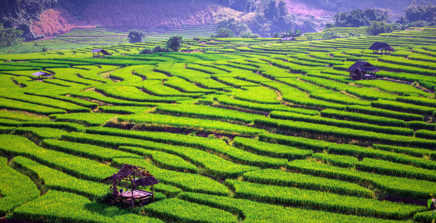 Green Terraced Rice Field, Credit Blue Sky Studio Shutterstock