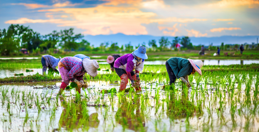 Rice Farmers, Credit Shutterstock