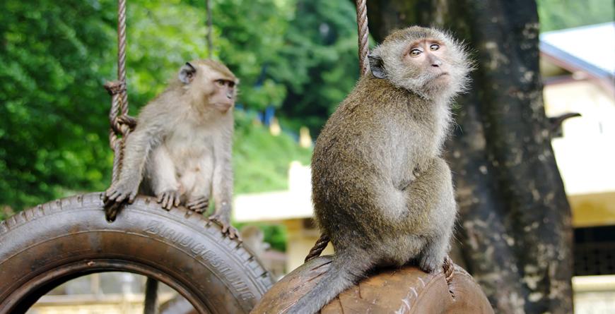 Krabi Town Monkeys, Credit HGalina, Shutterstock