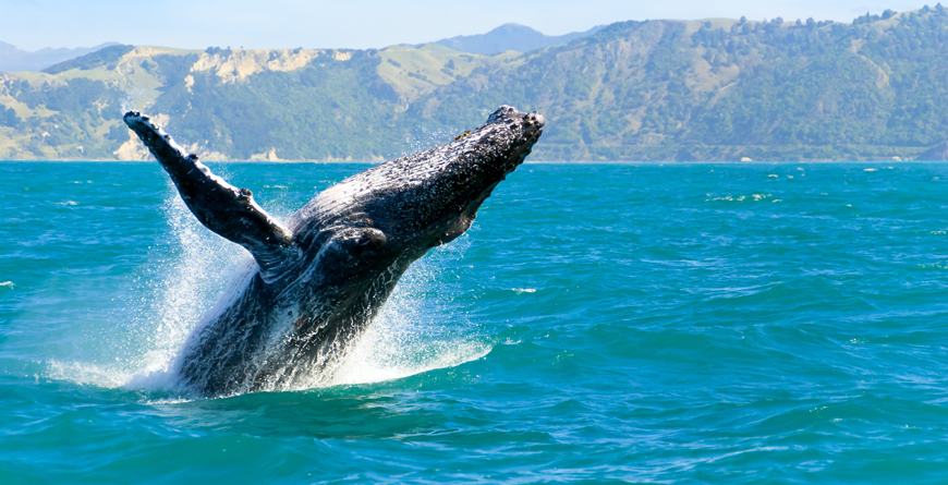 Whale Watching at Kaikoura