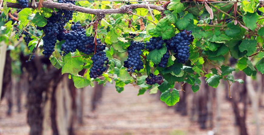 Vineyards, Credit Sunsinger, Shutterstock.com