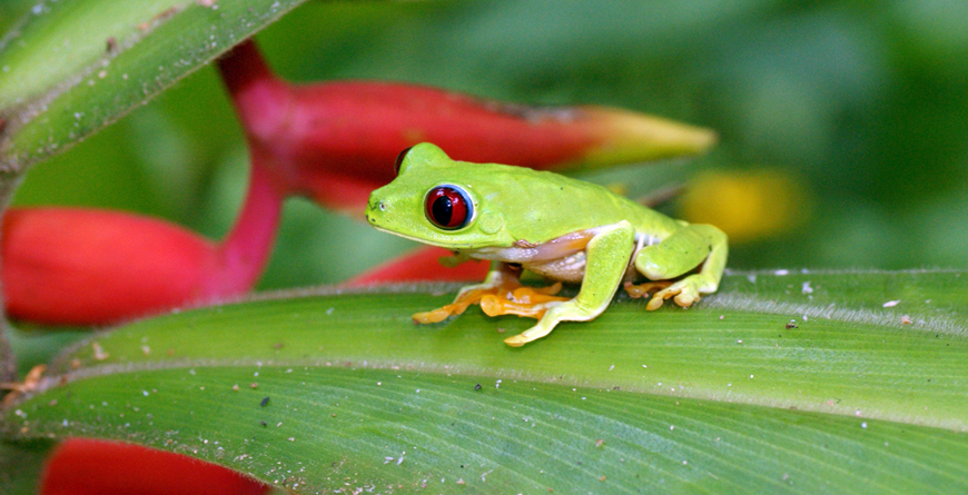 Green Frog, Credit Matt Jeppson, Shutterstock.com