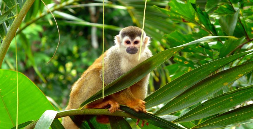 tion/Latin_America/Costa_Rica/Manuel_Antonio/Costa_Rica_Manuel_Antonio_SliderSquirrel Monkey, Credit Nacho Such Shutterstock.com