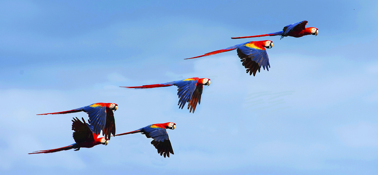 Wild Scarlet Macaws Corcovado National Park, Credit worldwildlifewonders, Shutterstock.com