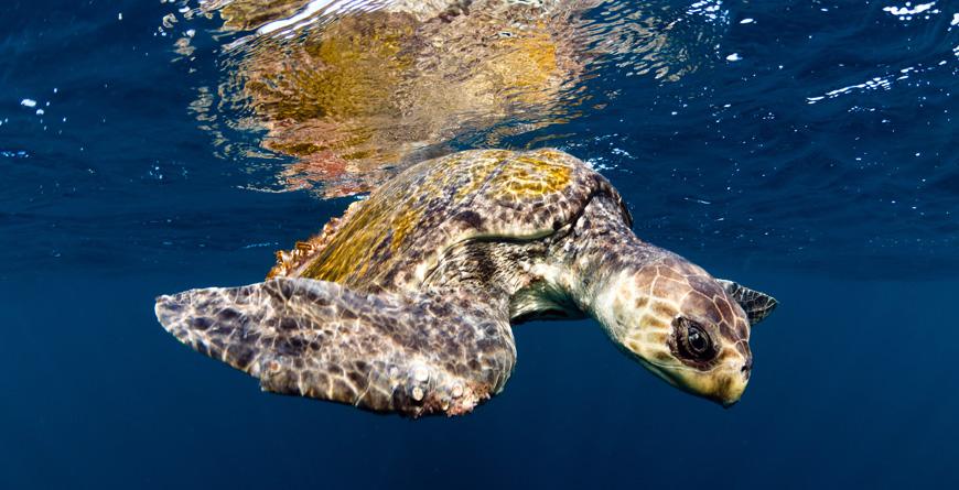 Sea Turtle, Credit Joostvan Uffelen, Shutterstock.com