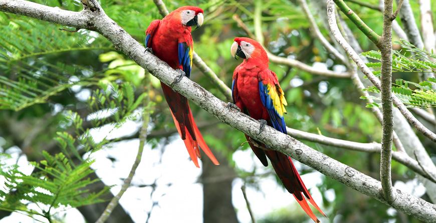 Wild Scarlet Macaws, Credit Worldswildlifewonders, Shutterstock.com