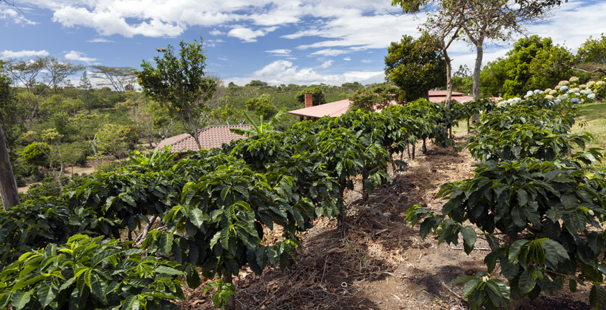 Coffee Plantation, Credit Tilo G, Shutterstock.com