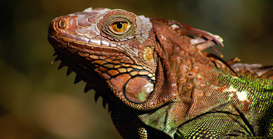 Green Iguana, Credit Travel Excellence