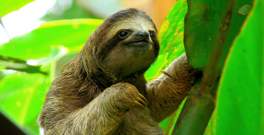 Sloth, Credit Nacho Such, Shutterstock.com
