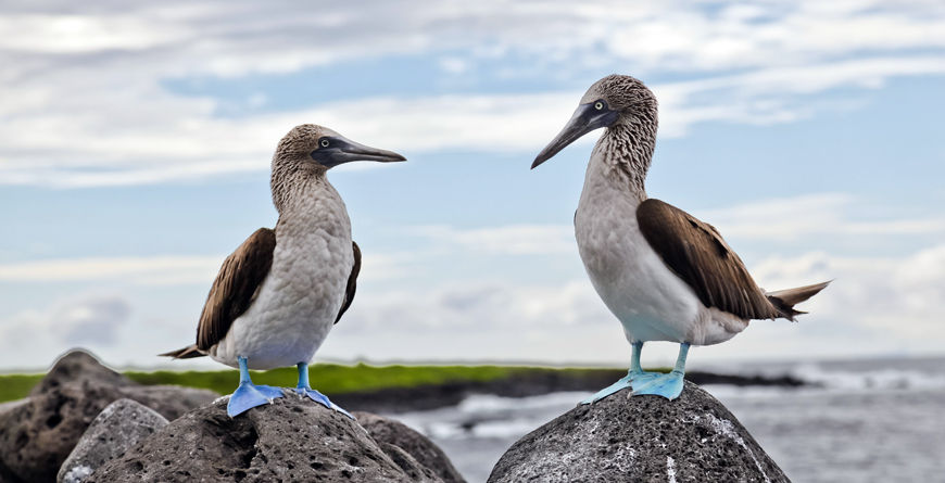 Blue-footed Booby, Credit Eduador Postales, Shutterstock.com
