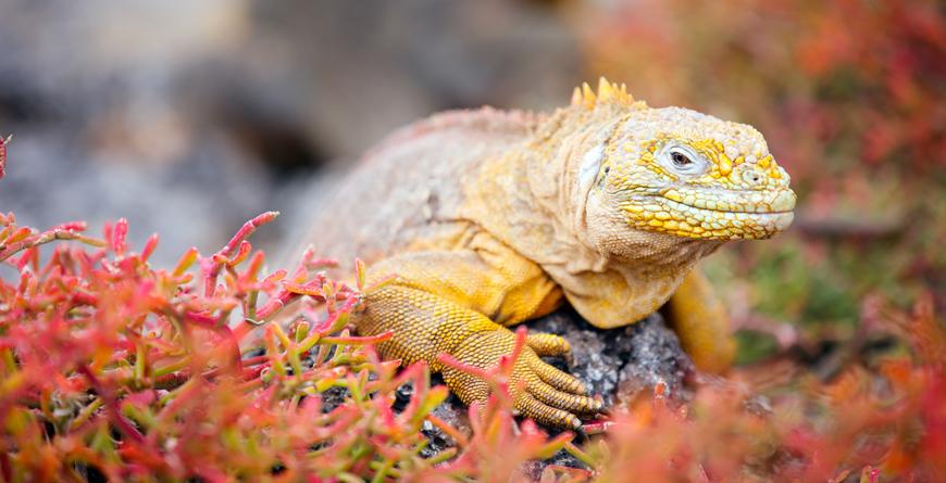 Land Iguana, Credit Blue Orange Studio, Shutterstock.com