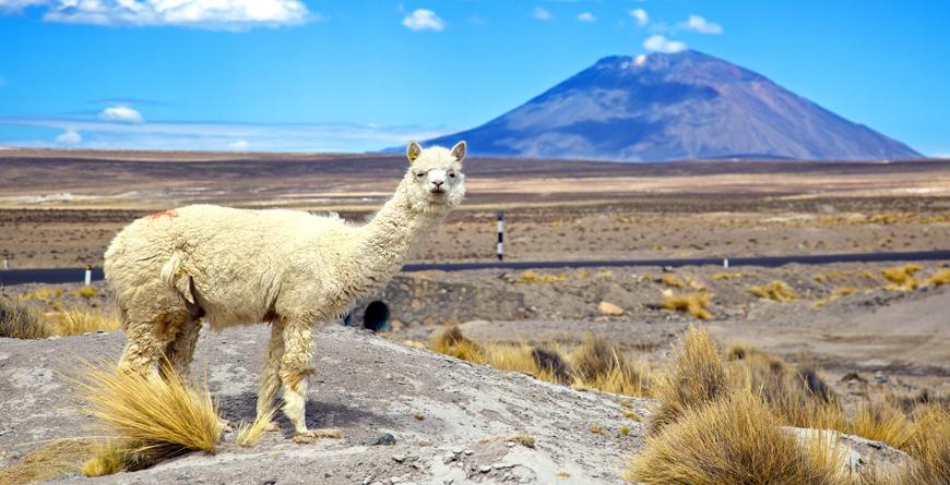 Alpaca with Volcano El Misti, Credit Shutterstock