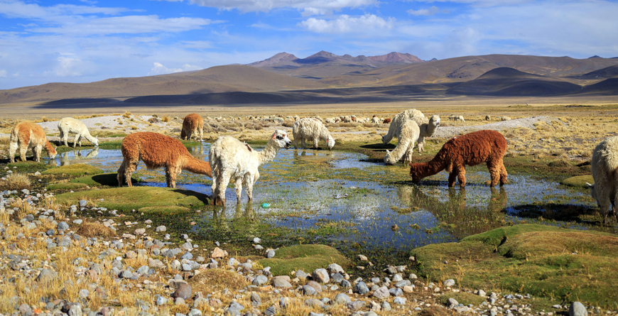 Llamas in the Andes, Credit Shutterstock