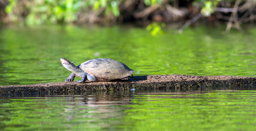 Turtle, Tambopta National Park, Credit Christian Vinces, Shutterstock