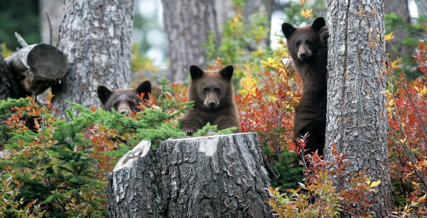 Bears, Credit Michael Allen