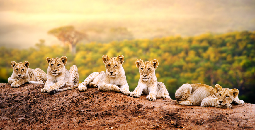 Cubs, Courtesy of Shutterstock
